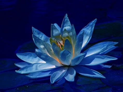 wallpaper blue lotus lotus flowers flower hd wallpapers images pictures