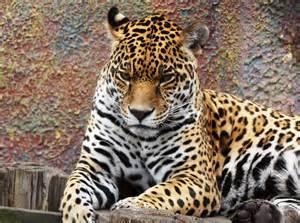 Jaguar Cat Wiki File Panthera Onca Colombia Jpg Wikimedia Commons