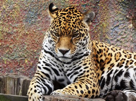 Imagenes Jaguar You | file panthera onca colombia jpg wikimedia commons