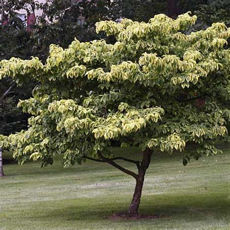 shade tree for small backyard dogwood cornus florida trees for small yards this