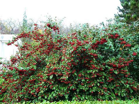 arbustos de jardin con flor 10 arbustos resistentes al fr 237 o para el jard 237 n pisos al