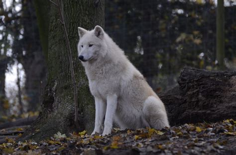 30 Best Stylized Wolves Images On Image From Http Fc01 Deviantart Net Fs71 I 2013 001 8 4 New White Wolves 25 By Lakela D5q0kgb