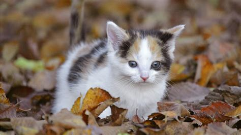 kitten wallpaper for pc cute cat wallpaper