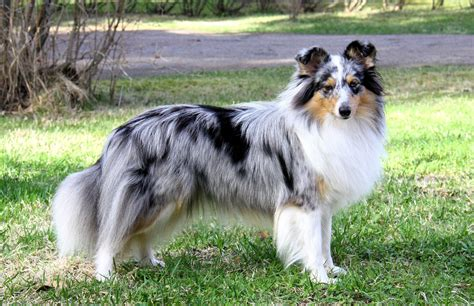 blue merle sheltie puppies bluemeadow s collies and shelties
