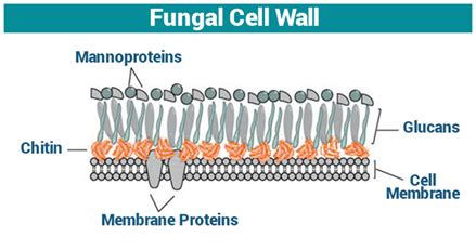 fungal cell wall cell wall function fungi structure