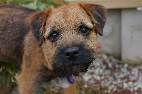border terrier puppies brandycarr kennels breeders of border terriers and border terrier puppies