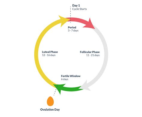 Menstrual Cycle And Ovulation Calendar Ovulation Understanding Ovulation To Get