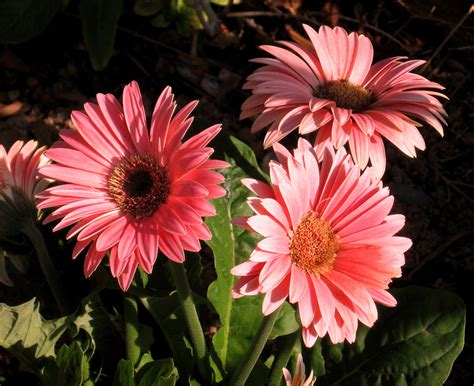 flower images flowers images gerbera wallpaper photos 724973