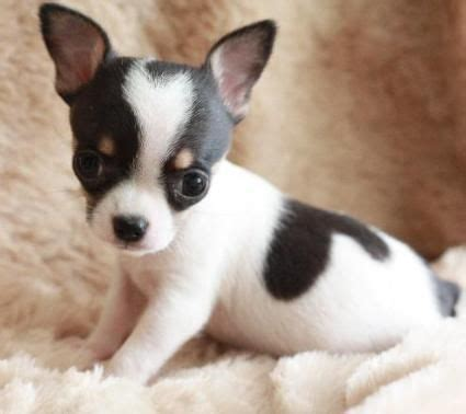 teacup chihuahua puppy best 25 teacup chihuahua puppies ideas on