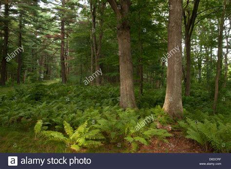 tree farms near appleton ferns and maple trees at appleton farms grass rides ipswich ma stock photo 55614483 alamy