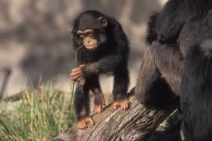 monkey wallpaper for walls chimpanzee hd wallpapers