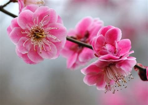 fiori ciliegio fioritura ciliegi hanami giappone i like viaggi