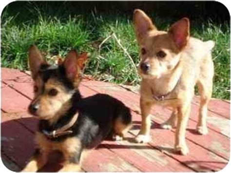 yorkie corgi yorkie rescue california breeds picture