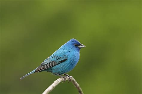 how to attract indigo buntings to your backyard 28