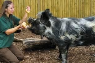 how big do micro pigs get petpiggies
