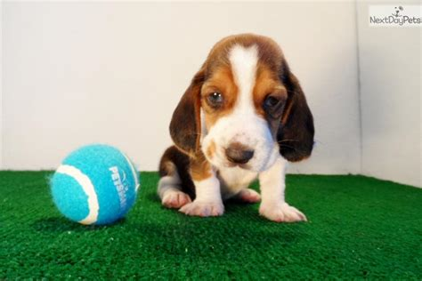 basset hound puppies for sale in california basset hound puppy for sale near san diego california 13a01851 daf1