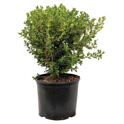 3 gal japanese boxwood 06103fl the home depot