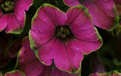 the top 11 petunia varieties