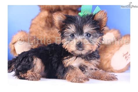 yorkie rescue northern virginia united yorkie rescue a 501 c 3 non profit newhairstylesformen2014