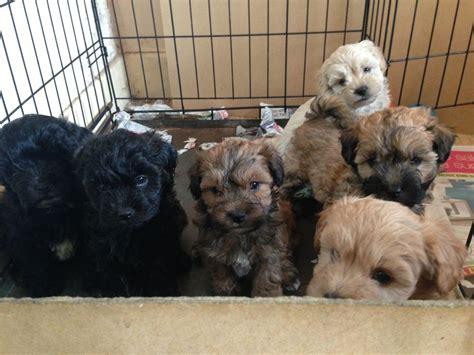 lhasapoo puppies lhasapoo puppies lhasa apso x poodle nottingham nottinghamshire pets4homes