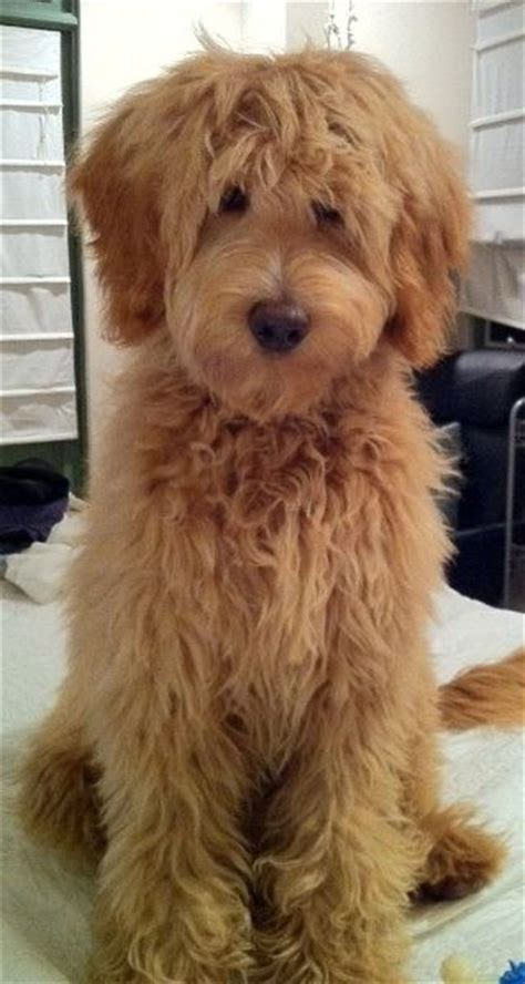 labradoodle puppies california mini labradoodle puppy for sale breeds picture