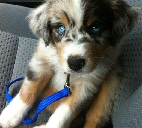 golden retriever cross husky puppies for sale goberian golden retriever and siberian husky mix breeds picture