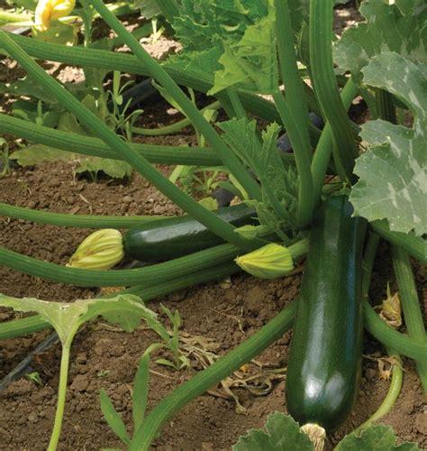 Black Beauty Zucchini Seeds Garden Vegetable Plants