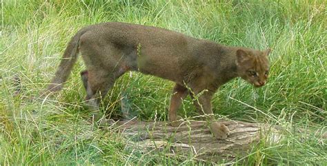 imagenes jaguarundi jaguarondi wikip 233 dia