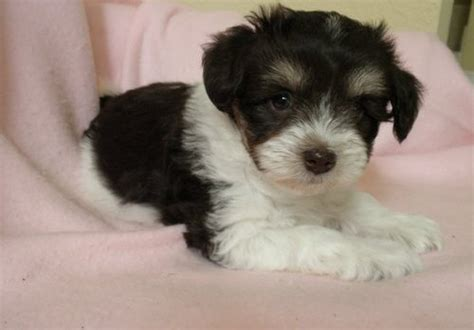 miniature schnauzer puppies for sale in pa mini schnauzer puppies for sale breeds picture