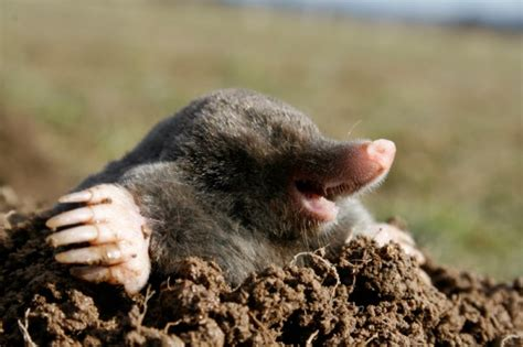 Garden Mole by Whack A Mole Get Rid Of Moles In Your Lawn