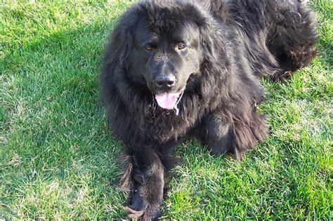 newfoundland weight largest newfoundland recorded breeds picture breeds picture