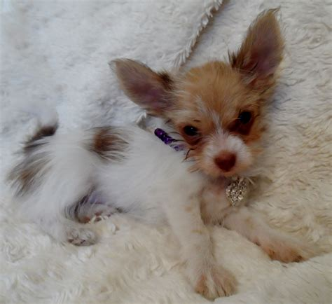 chihuahua and shih tzu puppies tiny chihuahua cross shih tzu boy manchester greater manchester pets4homes
