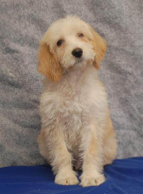 doodle rescue in indiana doodle puppies for sale in indiana breeds picture