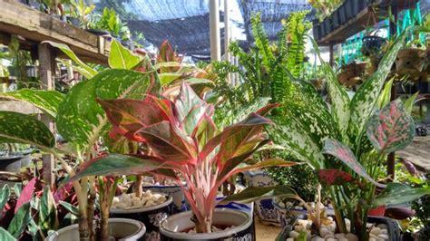 varian tanaman hias  cocok ditempatkan   rumah