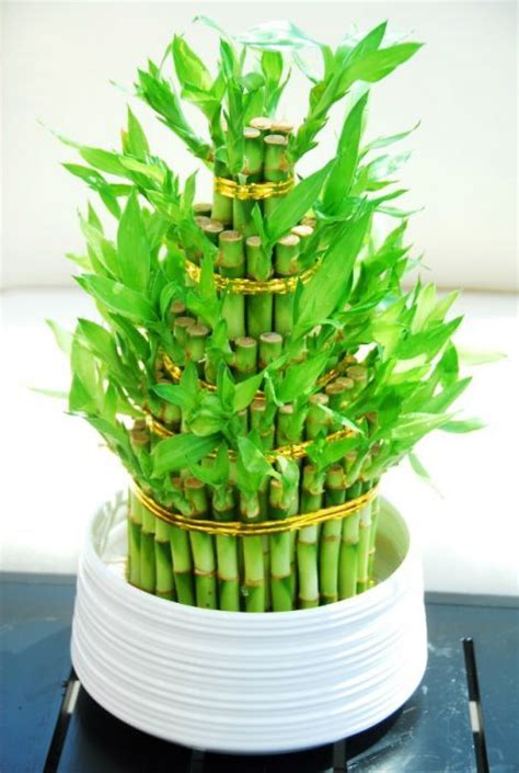 tiered lucky bamboo arrangement plant decor toronto