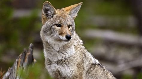 mt lebanon police wildlife  lebo coyotes foxes  bobcats mt lebanon police