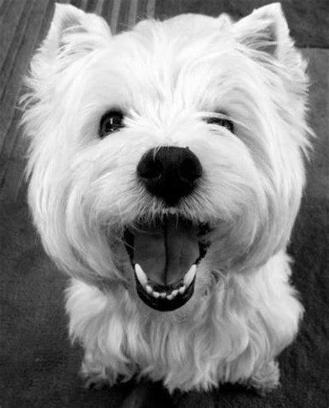 happy puppies website best 25 white terrier ideas on west terrier westie puppies and westie