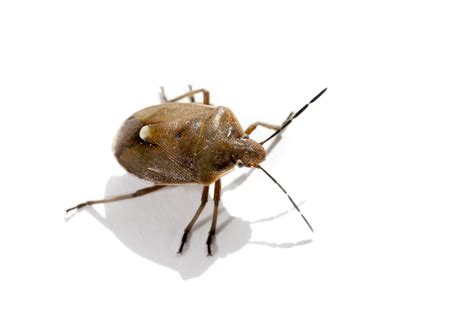 show pictures of bed bugs what types of bed bugs are in your home terminix