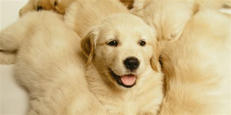 huffington post golden retriever golden retriever puppy is the best thing to happen to you on a friday afternoon