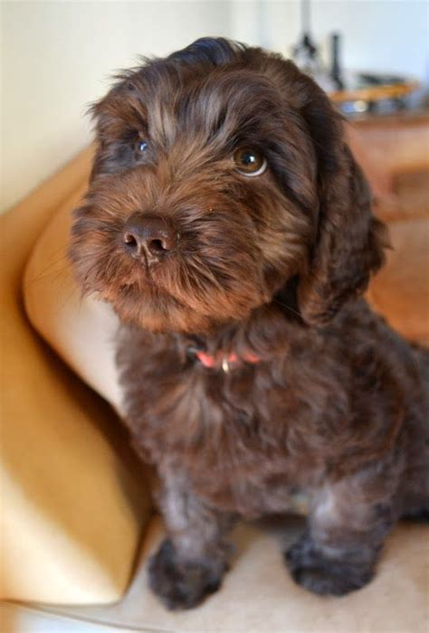 brown labradoodle puppy best 25 chocolate labradoodle ideas on labradoodle puppies labradoodles
