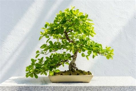choosing growing bonsai a five step beginner s guide to growing bonsai trees lamudi