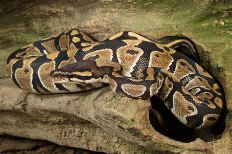 ball python heat l ball python lighting and needs