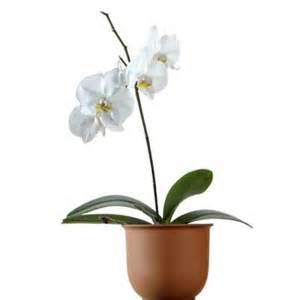 moth orchid phalaenopsis easy houseplants this old house