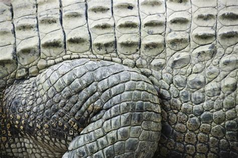 Alligator Skin by Crocodile Skin Up Nature S Patterns