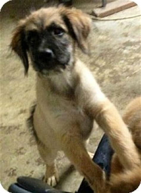 german shepherd great pyrenees mix puppies great pyrenees shepherd mix memes