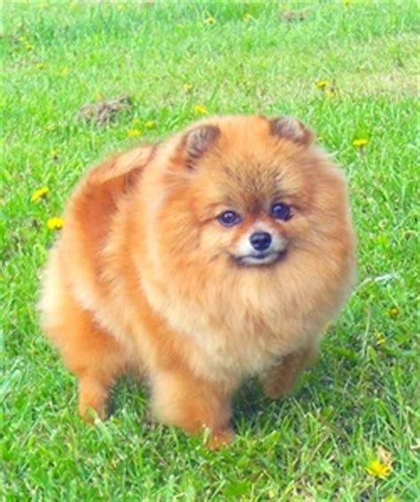 teddy grown grown teddy pomeranian akita animal