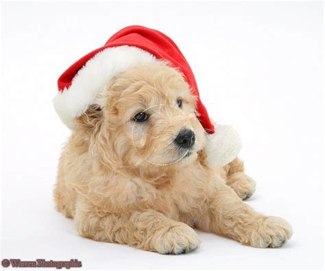17 best images about goldendoodles on pinterest red
