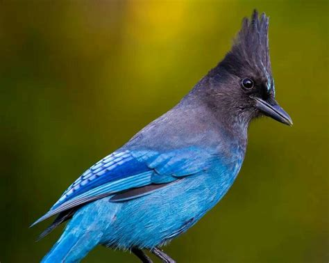 stellar jay the official bird of bc bird watching in
