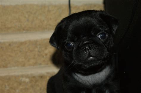 pug litter kennel club registered black pug litter fareham hshire pets4homes