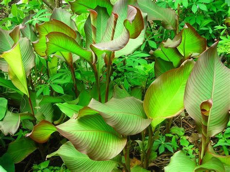 Bibit Tanaman Herbal Temu Lawak canna discolor ganyong also known as achira in colombia